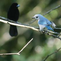 Costa Rica, Blautangere (Männchen)