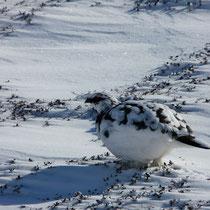 Österreich, Schneehuhn im Winterkleid