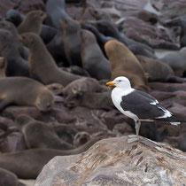 Möwe inmitten Südafrikanischer Seebären