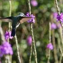 Costa Rica, eventuell Purpur-Kehlnymphe