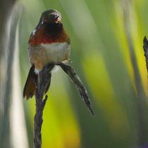 Costa Rica, Kolibri