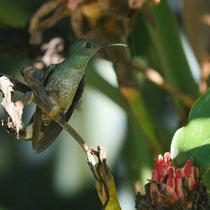 Costa Rica, Grüne Fadenelfe