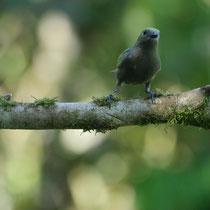 Costa Rica, Blautangere (Weibchen)
