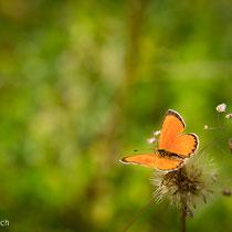 oranger Schmetterling