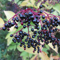 Elderberries in Autumn