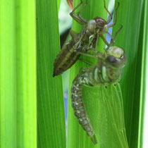 Dragon fly hatching out on iris leaves