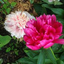 Peony flowers in Spring