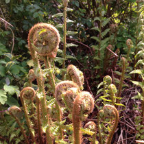 Miracle of ferns unfurling