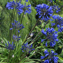 Agapanthus x Brillant Blue ®