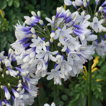 Agapanthus x Twister ®
