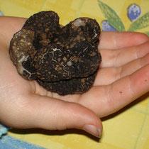 truffe noire Tuber Melanosporum