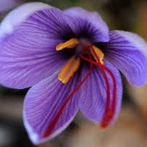 safran dans la fleur de Crocus sativus