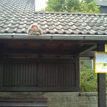 Affe auf dem Bushaltestellenhäuschen