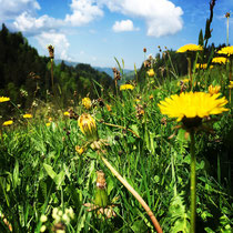 Alpweide mit Kräutern und Blumen