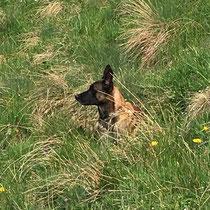 Blue meine Hund am überwachen der Weide
