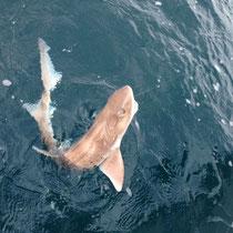 サメちゃんです