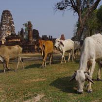 runderen op archeologische site van Sukothai - Thailand