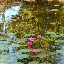 バンテアイ・スレイの蓮池