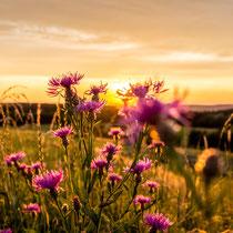 Blume im Sonnenuntergang