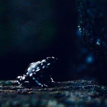 Frosch schwarz giftig Höhle