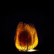 Physalis Licht Experiment
