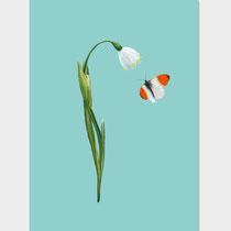 Märzenbecher-Spring Snowflake