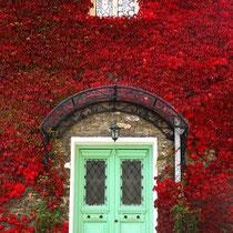 Wilder Wein in roter Herbstpracht, kühles Pastellgrün als Gegenspieler.