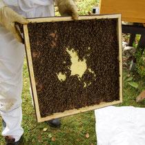 Noch mehr Bienen für das neue Volk.