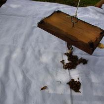 Bienen der Apidea Einheit werden zugegeben.