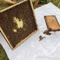 Brutwabe mit Bienen werden zugegeben.