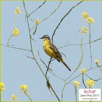 Western Yellow Wagtail - Motacilla flava