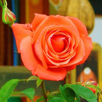 Rose aus Borneo