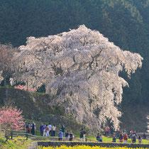 本郷の瀧桜、奈良県 宇陀