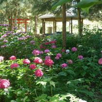 Hydrangéas,  kiosque et torii
