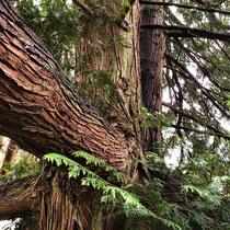 Riesen-Lebensbaum in einem Park im Wispertal