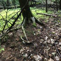 Lebensbaum Wurzel bei Bad Homburg