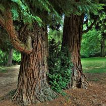 Riesen-Lebensbäume in einem Park im Wispertal
