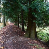 Lebensbaum-Allee bei Bad Homburg