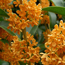 *Duftblüte, osmanthus fragrans