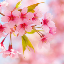 *Cherry blossoms