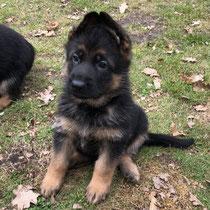 Dingo von Adeloga (7 Wochen alt)