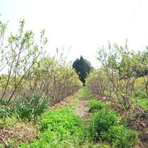 5月の磯野ブルーベリー園