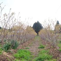 4月の磯野ブルーベリー園