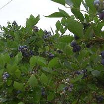 6月下旬の磯野ブルーベリー園