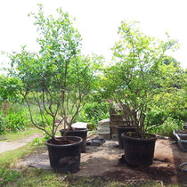 7年〜10年生の植木