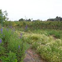 6月上旬の磯野ブルーベリー園