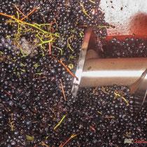Détail, vis sans fin de la remorque vers le fouloir-égrappoir. Château Roquebrune, Cénac, 2 octobre 2007