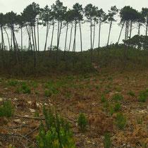 Coupe rase d'une parcelle pour régénérer la forêt. Vers l'étang de Cousseau...