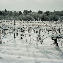 Vignoble du Château Haut-Brignon sous la neige. Commune de Cénac, 25 janvier 2007