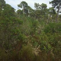 Arbousier, pins maritimes, chênes verts ou pédonculés. Vers l'étang de Cousseau...